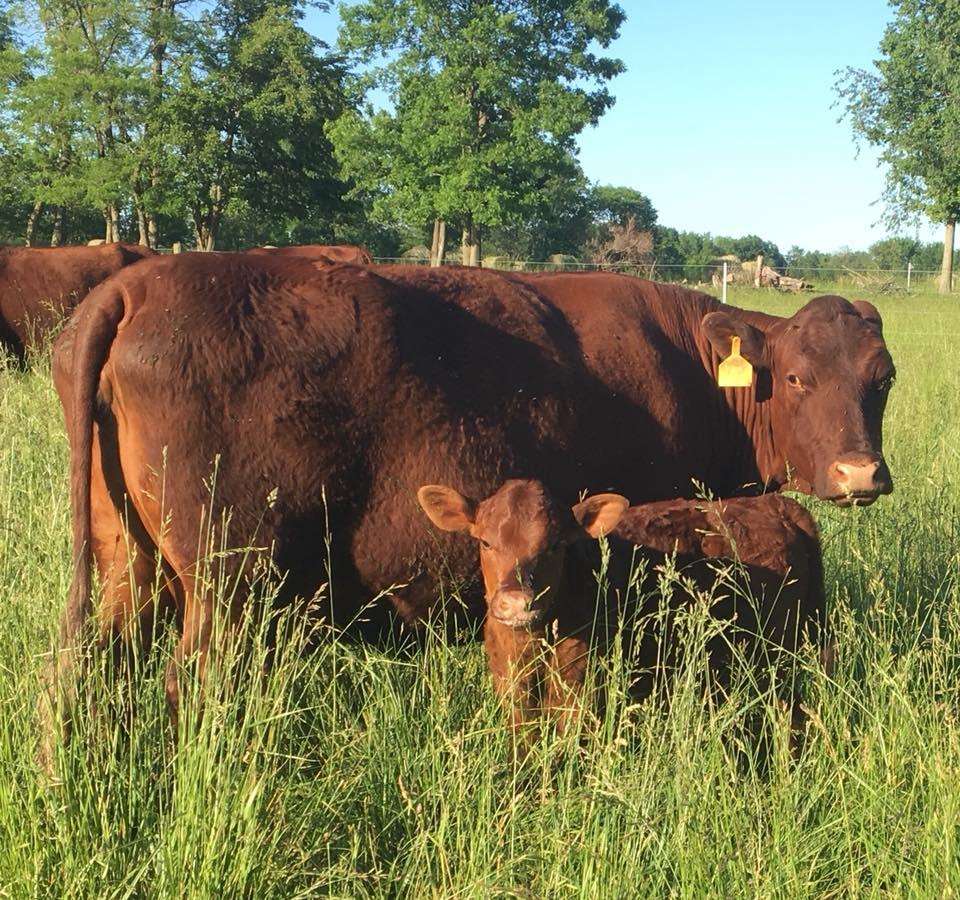 Devon cow and calf