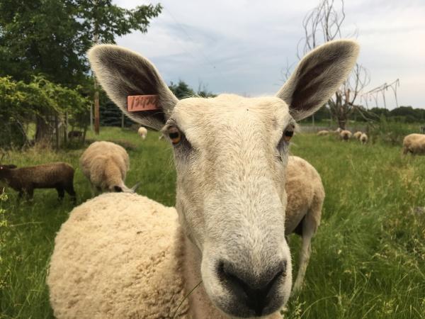 Bluefaced Leicester Fleeces